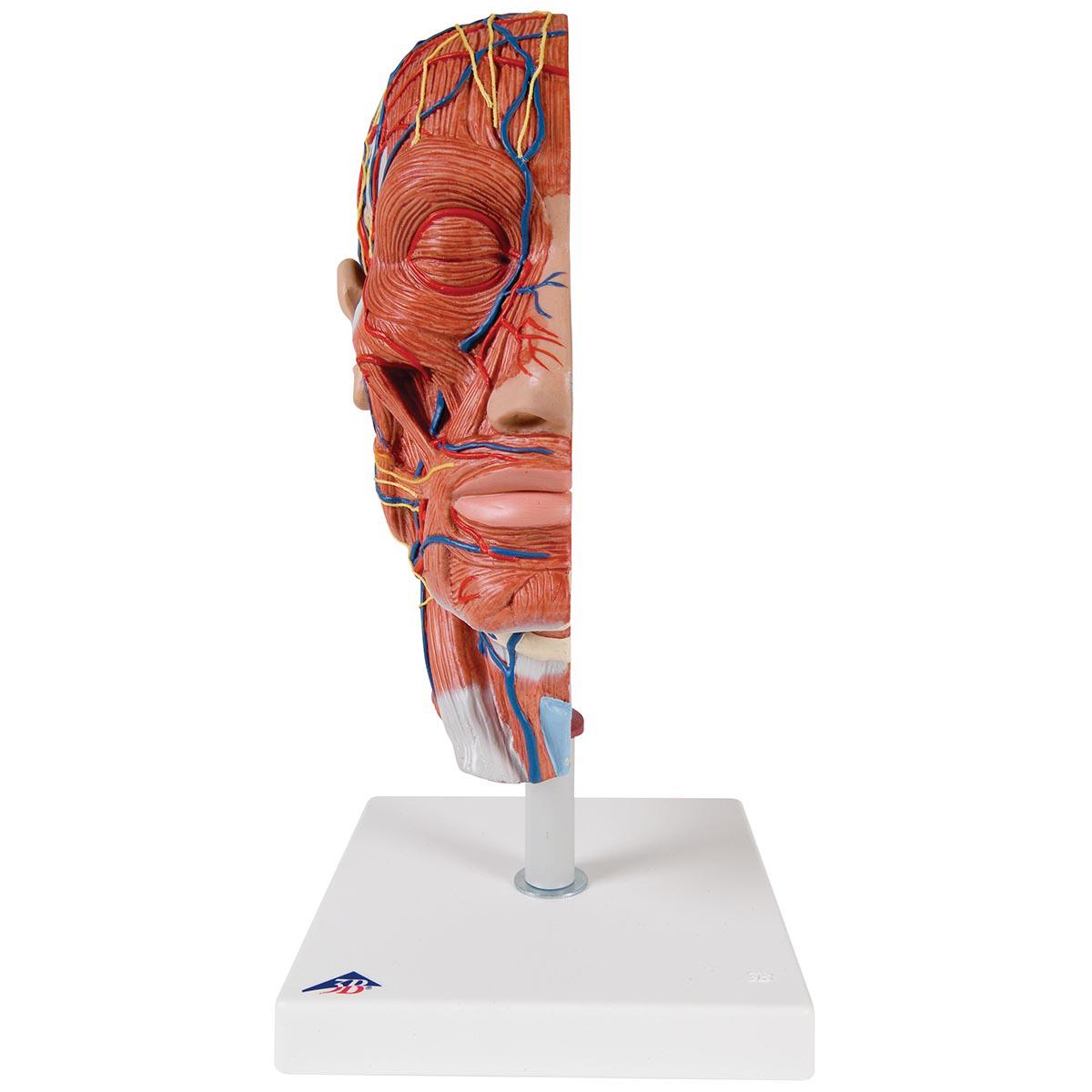 Halber Kopf mit Muskulatur - 1000221 - 3B Scientific - C14 ...