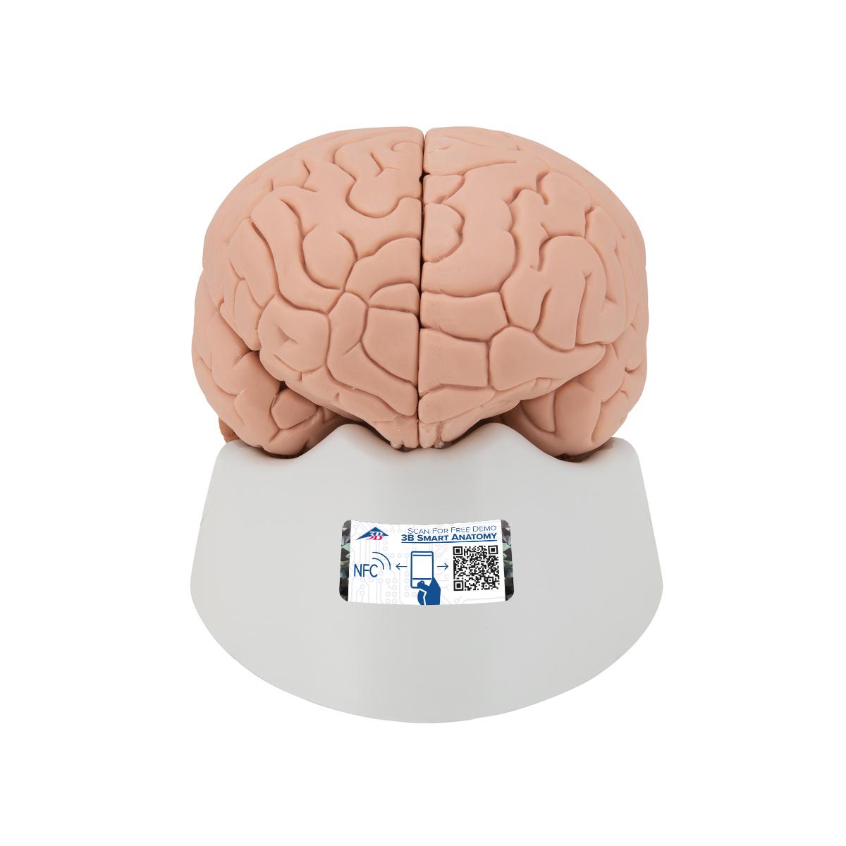 Gehirn, 4-teilig - 1000224 - 3B Scientific - C16 - Gehirn Modelle ...