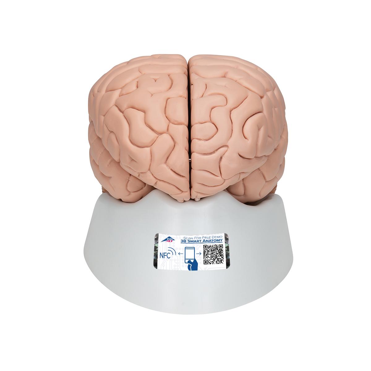 Gehirn, 8-teilig - 1000225 - 3B Scientific - C17 - Gehirn Modelle ...