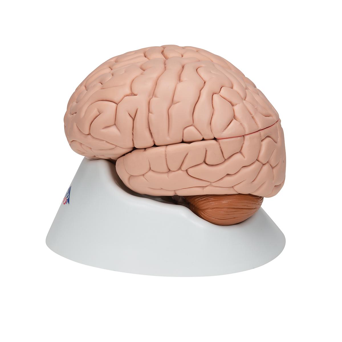 Gemütlich Virtuelle Anatomie Des Gehirns Ideen - Anatomie Von ...