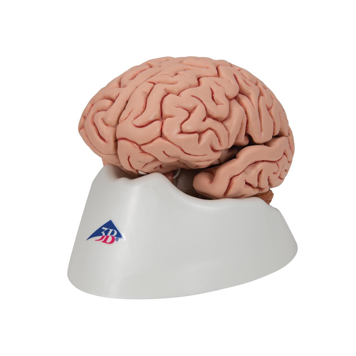 Teaching brain anatomy