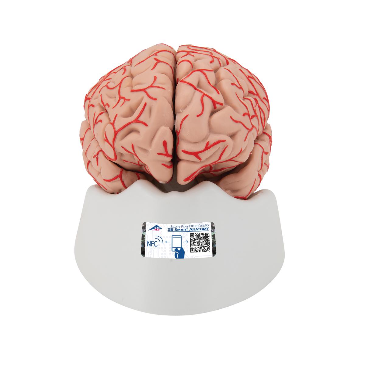 Gehirn mit Arterien, 9-teilig - 1017868 - 3B Scientific - C20 ...