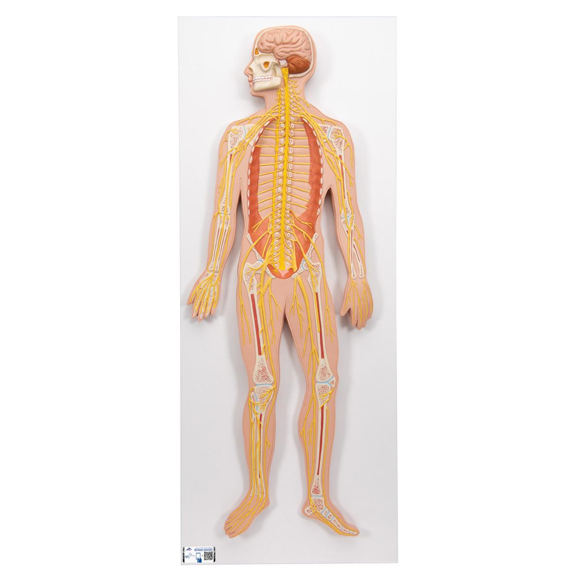 Nervensystem, 1/2 natürliche Größe - 1000231 - C30 - Nervensystem ...