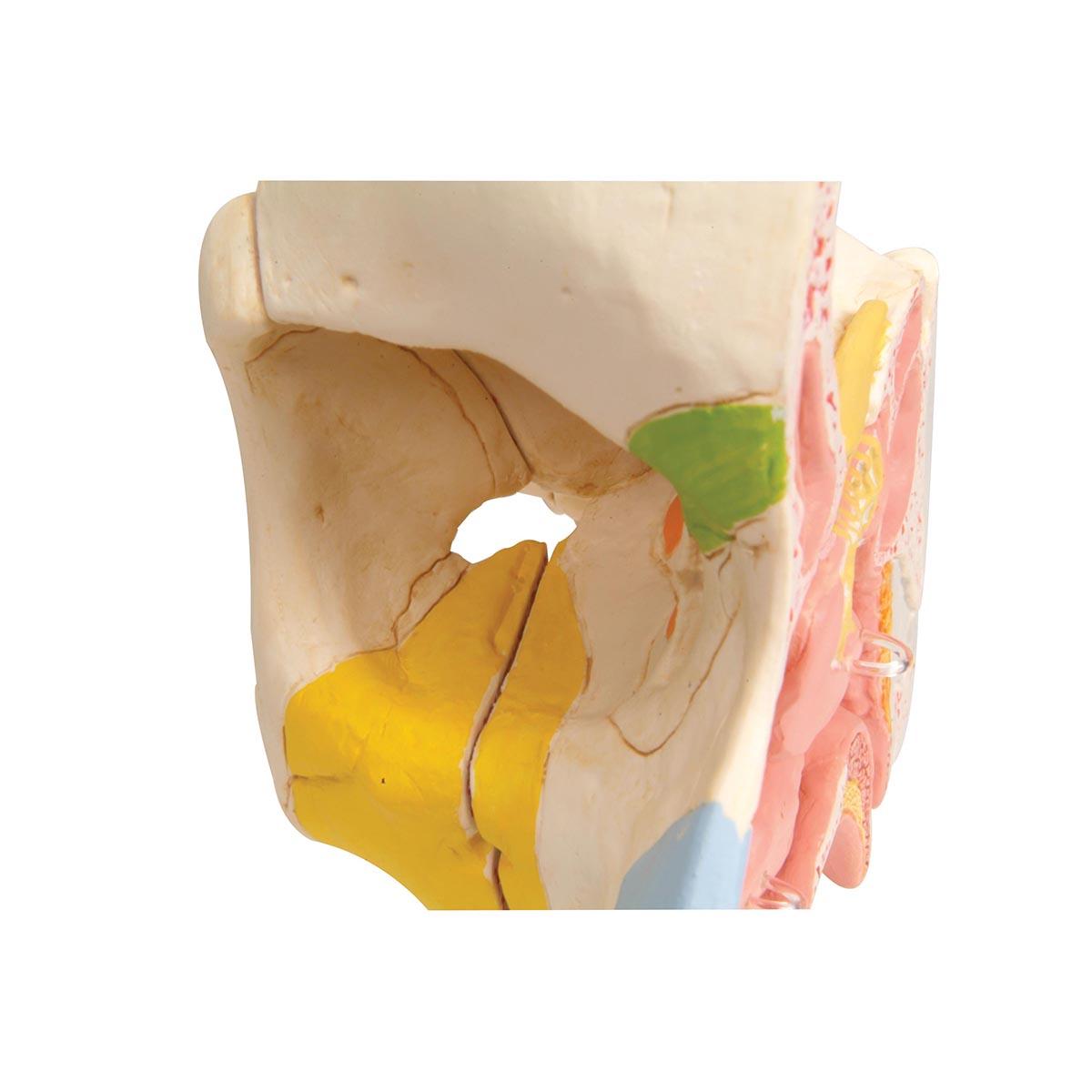 Nase mit Nasennebenhöhlen, 5-teilig - 1000254 - E20 - Hals, Nase und ...