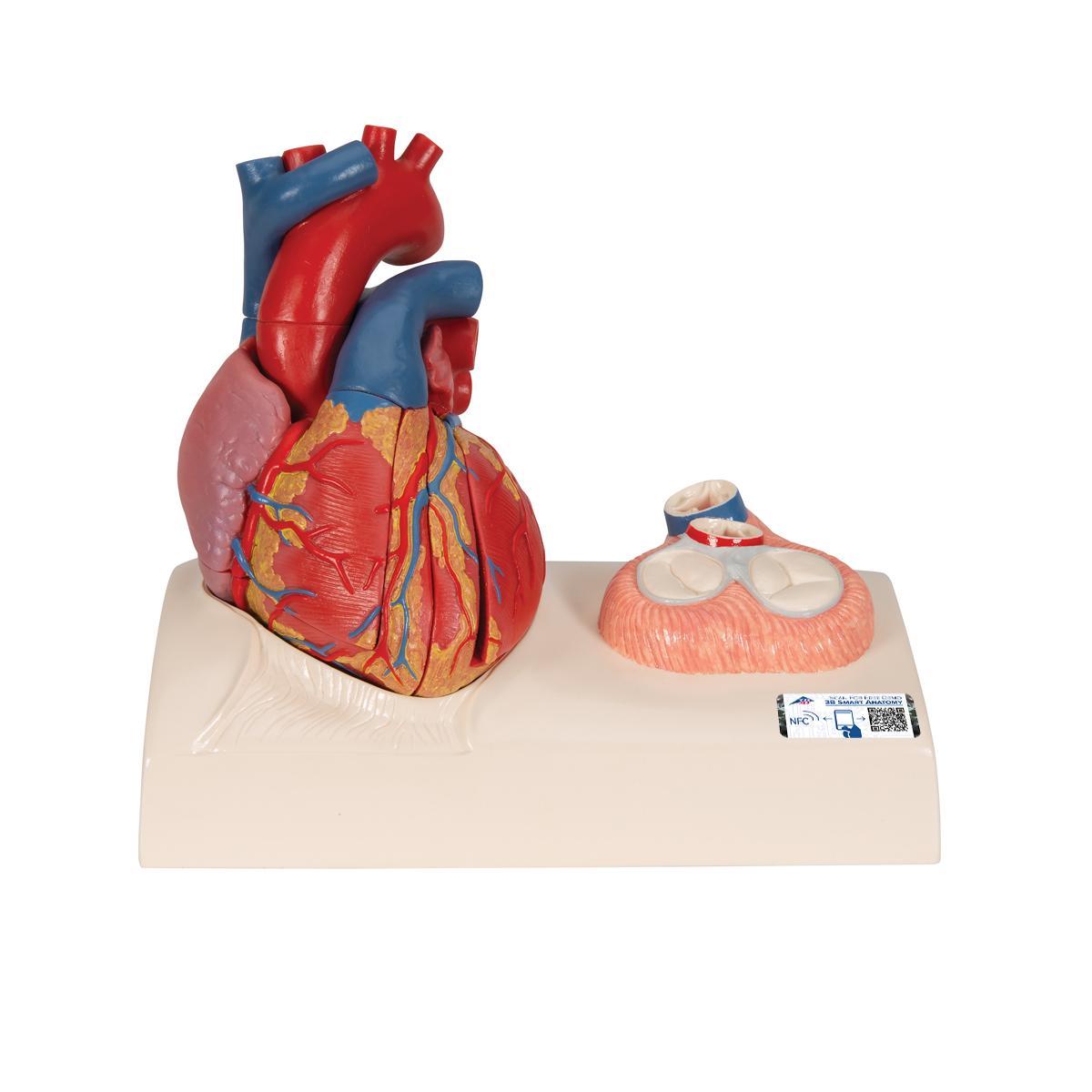 Herzmodell in Lebensgröße mit magnetischen Verbindungen, 5-teilig ...