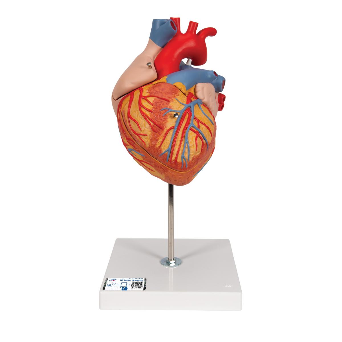 Herz, 2-fache Größe, 4-teilig - 1000268 - G12 - Herz- und ...