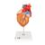 G13: Herz mit Luft- und Speiseröhre, 2-fache Größe, 5-teilig 1