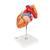 G13: Herz mit Luft- und Speiseröhre, 2-fache Größe, 5-teilig 3