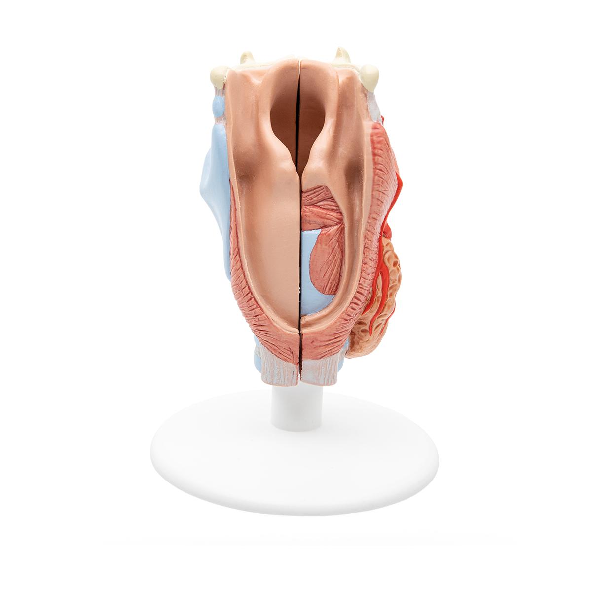 Wunderbar Veterinär Vergleichende Anatomie Bilder - Physiologie Von ...