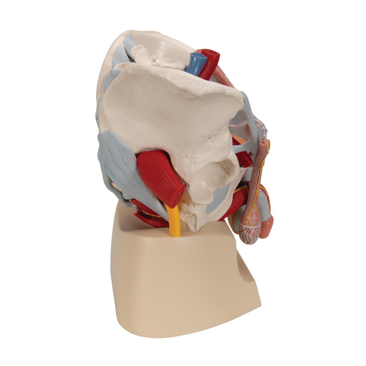 Männliches Becken mit Bändern, Gefäßen, Nerven, Beckenboden und ...
