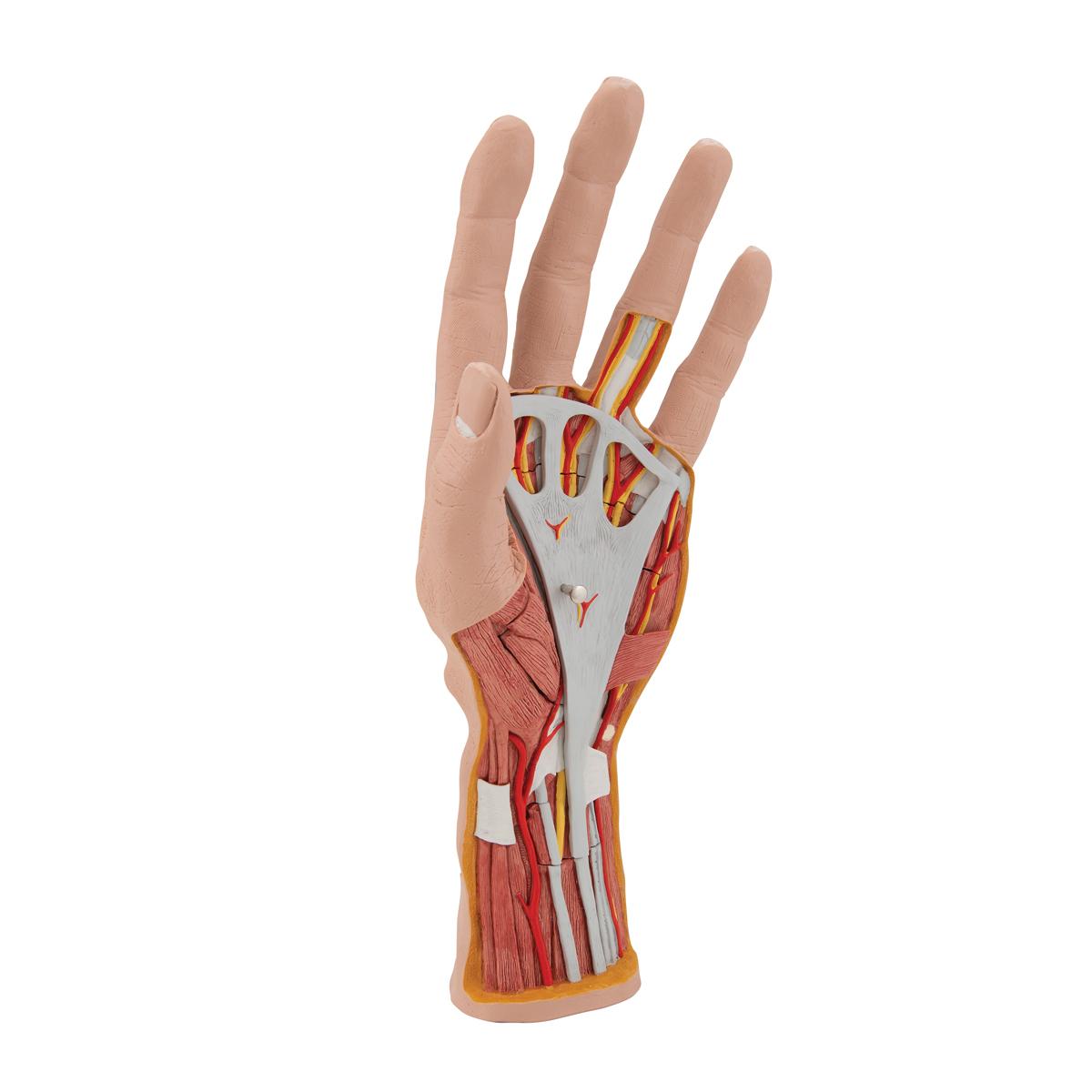 Großartig Hand Anatomie Modell Fotos - Anatomie Ideen - finotti.info