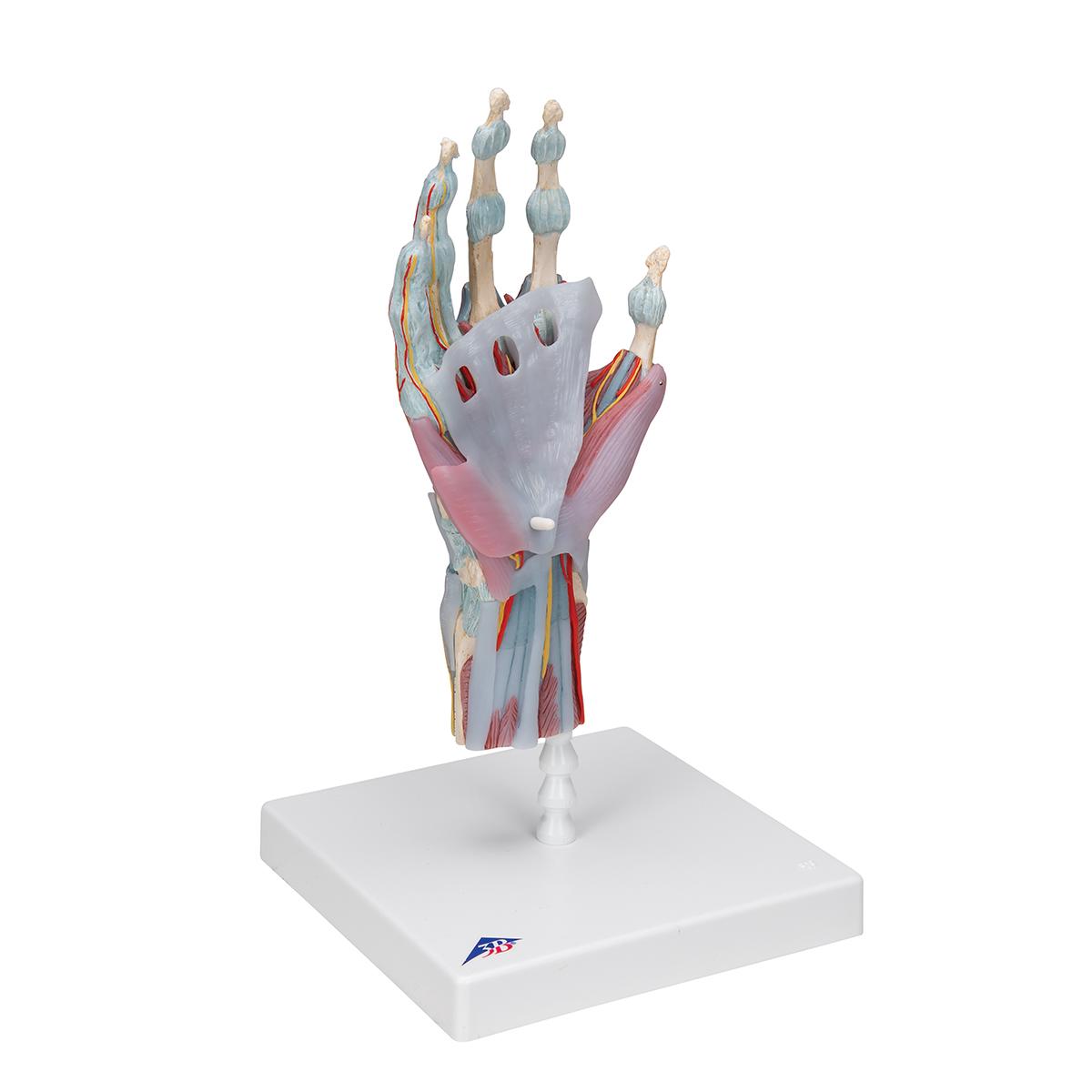 Modell des Handskeletts mit Bändern und Muskeln - 1000358 - M33/1 ...