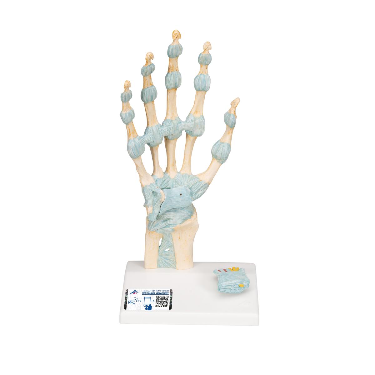 Modell des Handskeletts mit Bändern und Karpaltunnel - 1000357 - M33 ...
