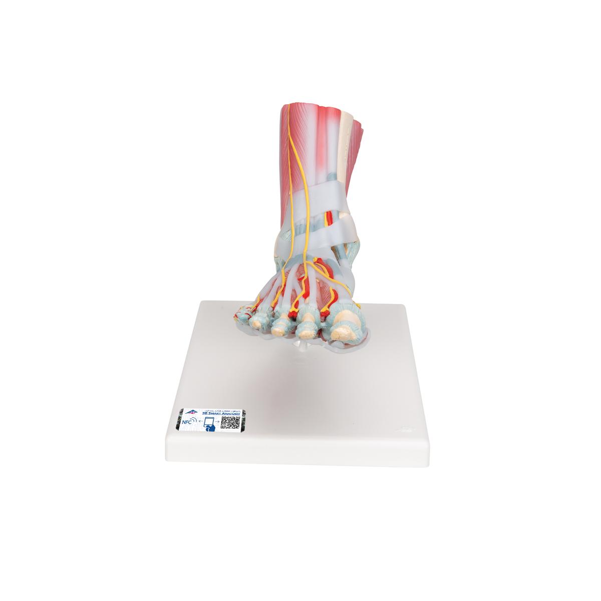 Modell des Fußskeletts mit Bändern und Muskeln - 1019421 - M34/1 ...