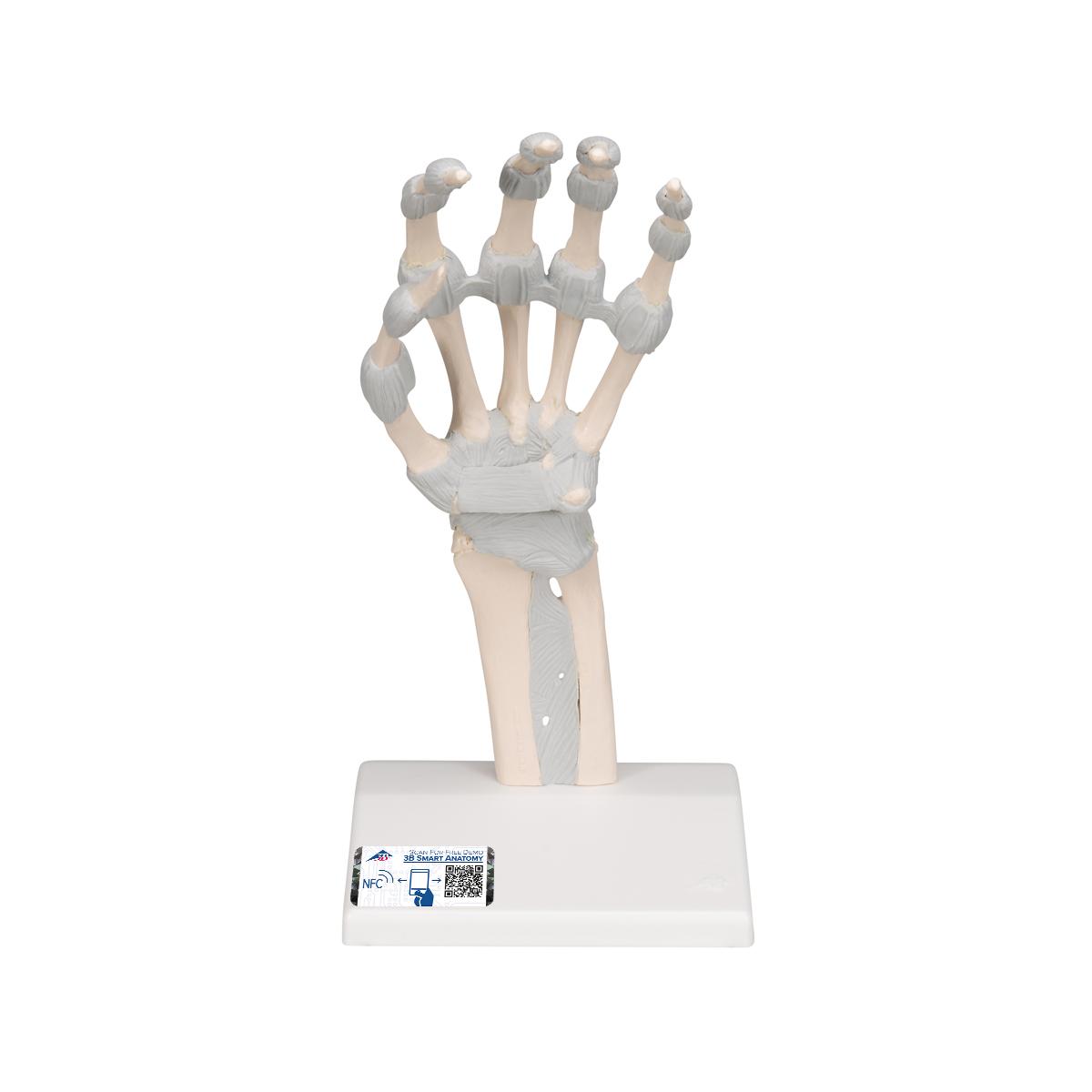 Handskelett mit elastischen Bändern - M36 - 1013683 - Hand- und ...