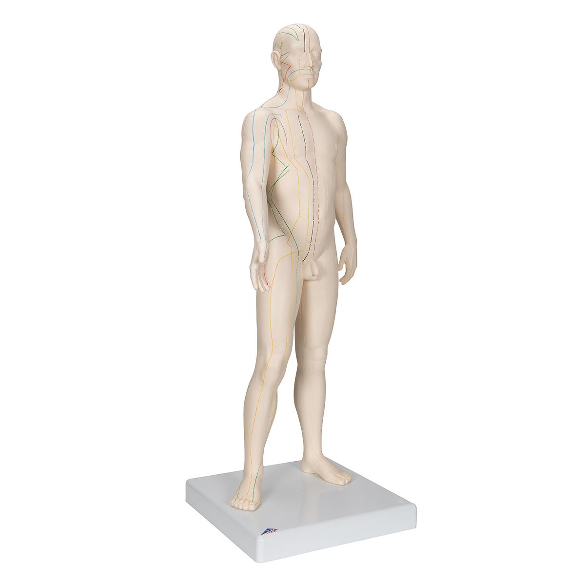 Erfreut Männliche Fortpflanzungssystem Anatomie Und Physiologie ...