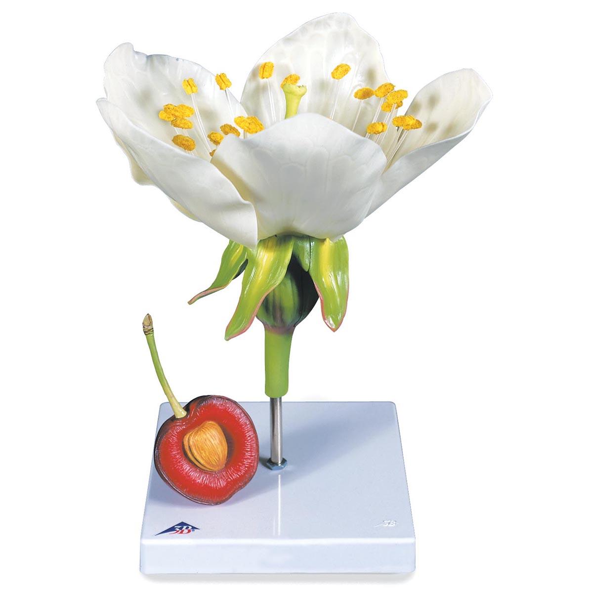 Kirschblüte mit Frucht (Prunus avium), Modell - 1020125 - T210191 ...