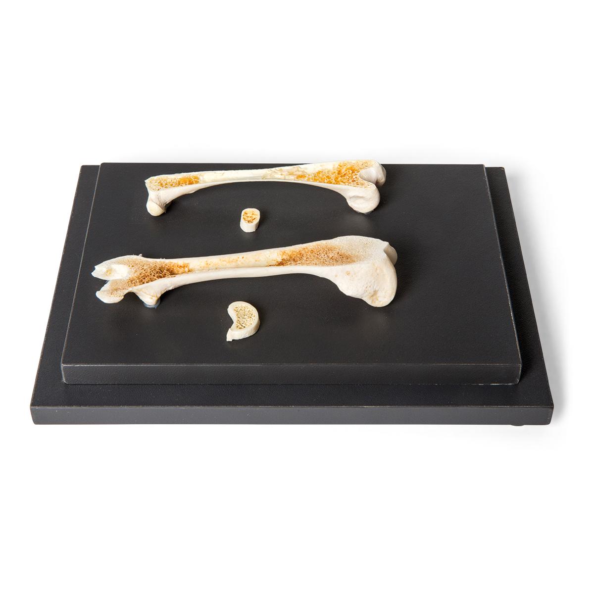aufbau eines vogel und s ugetierknochens pr parat 1021045 t30053 vergleichende anatomie. Black Bedroom Furniture Sets. Home Design Ideas