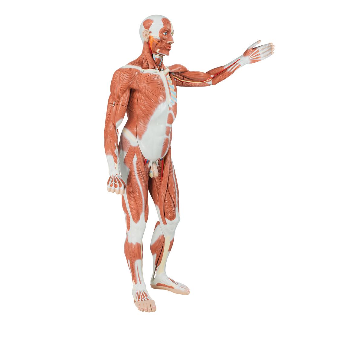 Lebensgroße männliche Muskelfigur, 37-teilig - 1001235 - 3B ...