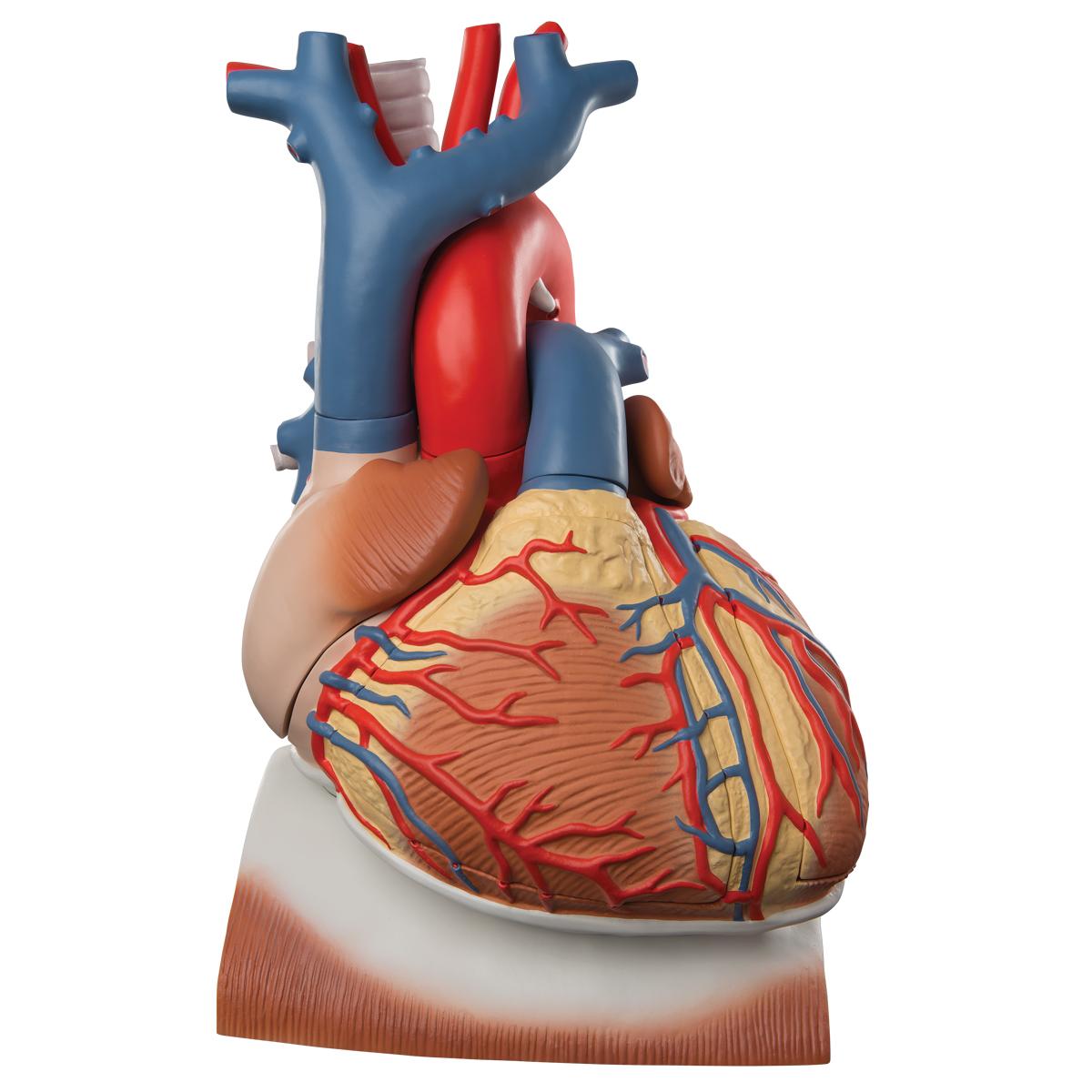 Herz auf Zwerchfell, 3-fache Größe, 10-teilig - 1008547 - VD251 ...
