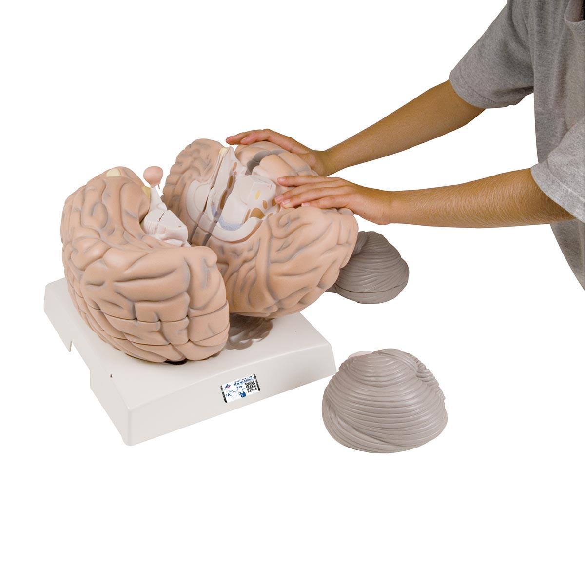 Mega-Gehirn, 2,5-fache Größe, 14-teilig - 1001261 - 3B Scientific ...