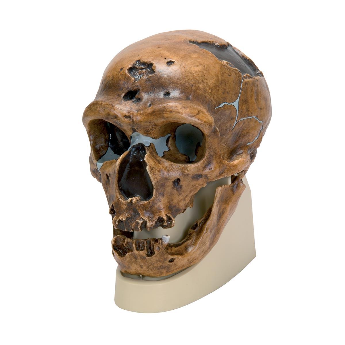 Neanderthal La Chapelle Aux Saints Schädelreplikat H...