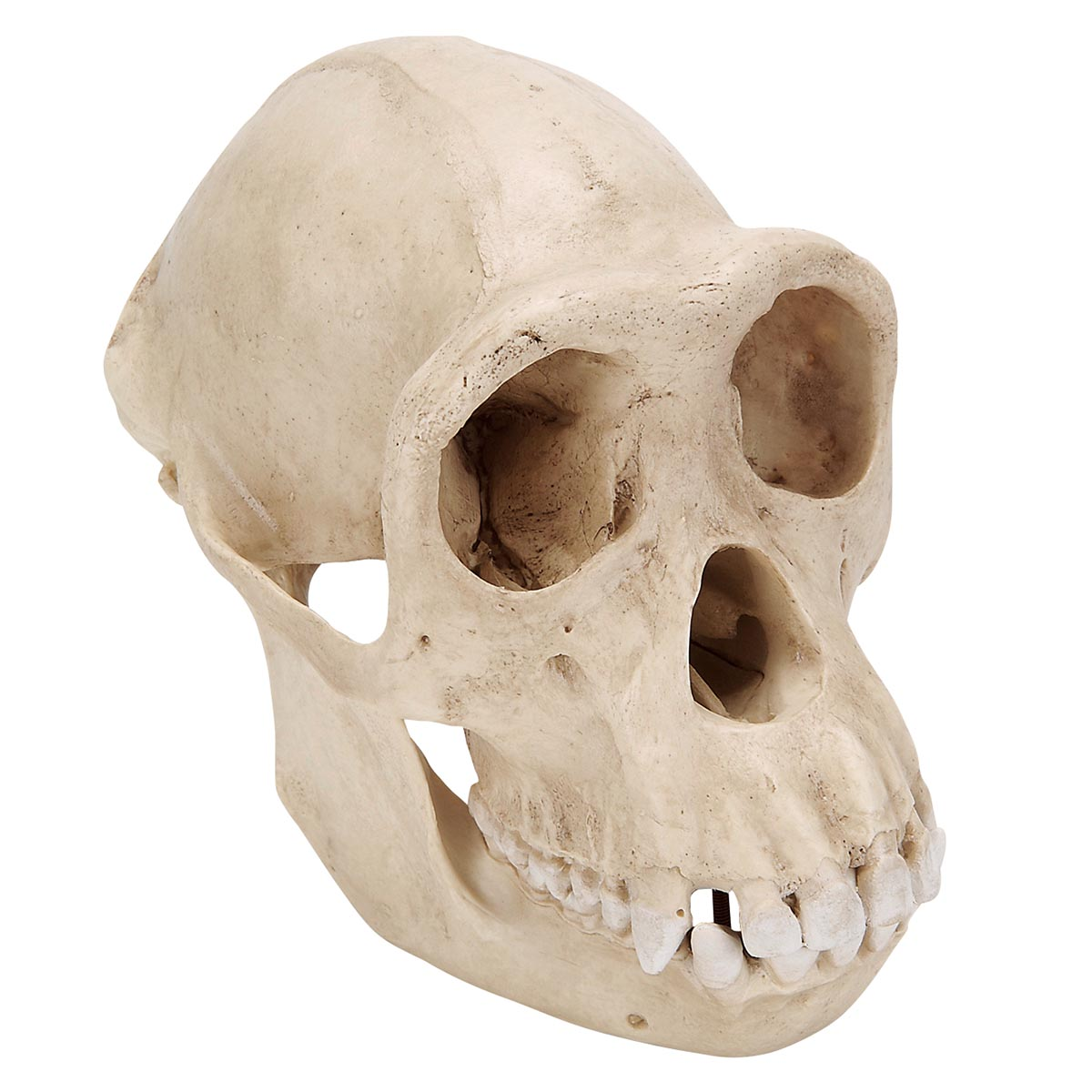 Schimpansenschädel, (Pan troglodytes feminam), weiblich, Replikat ...