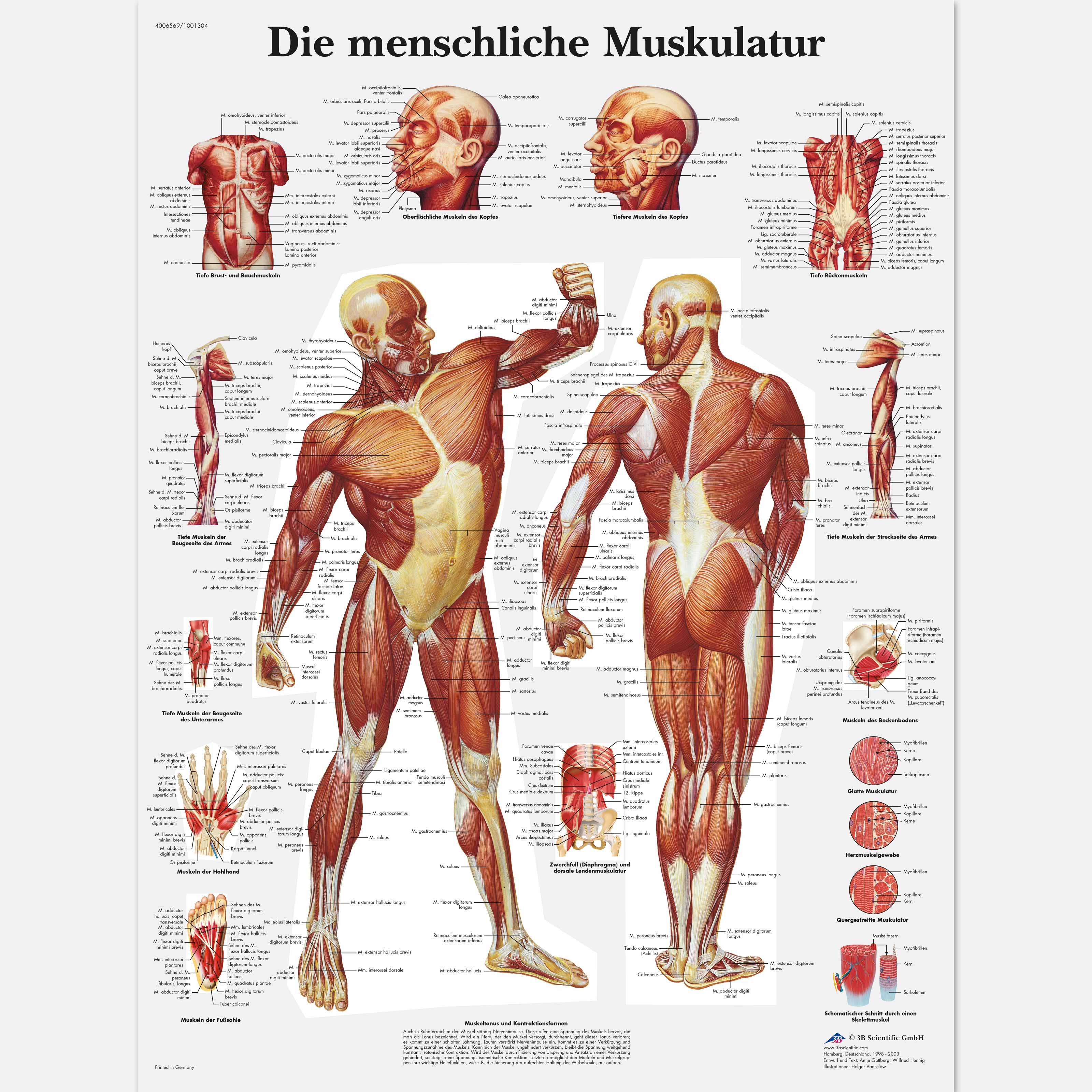Lehrtafel - Die menschliche Muskulatur - 4006569 - VR0118UU - Muskel ...