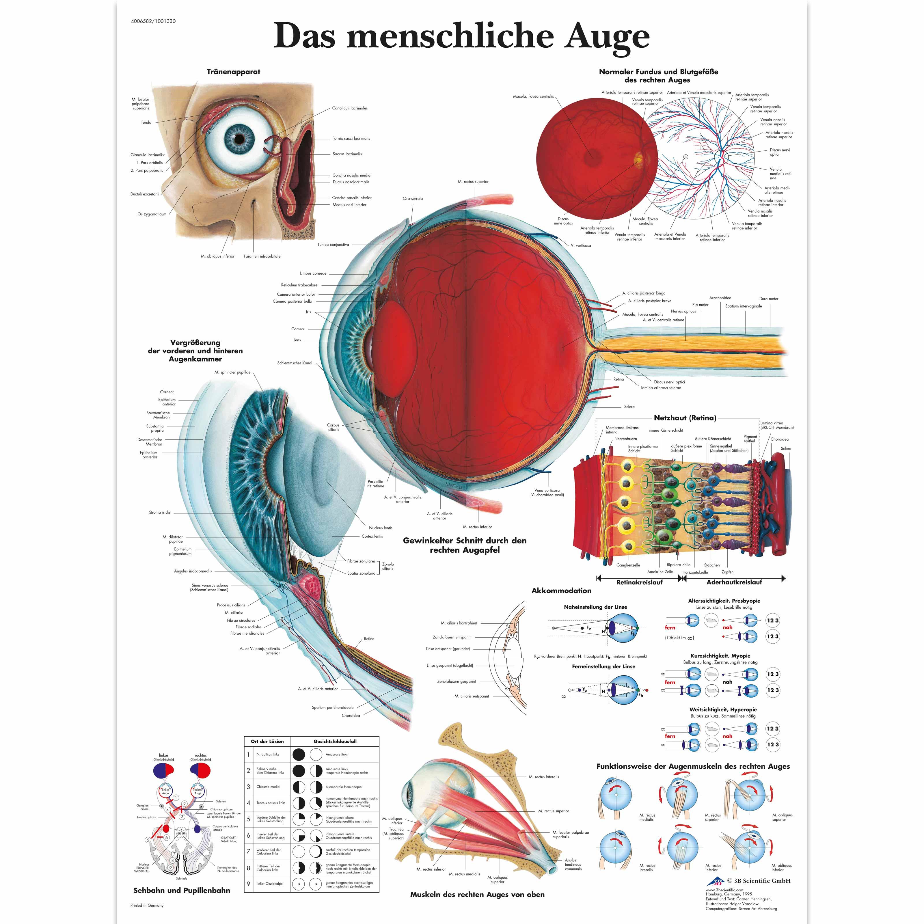 Lehrtafel - Das menschliche Auge - 4006582 - VR0226UU - Augen - 3B ...