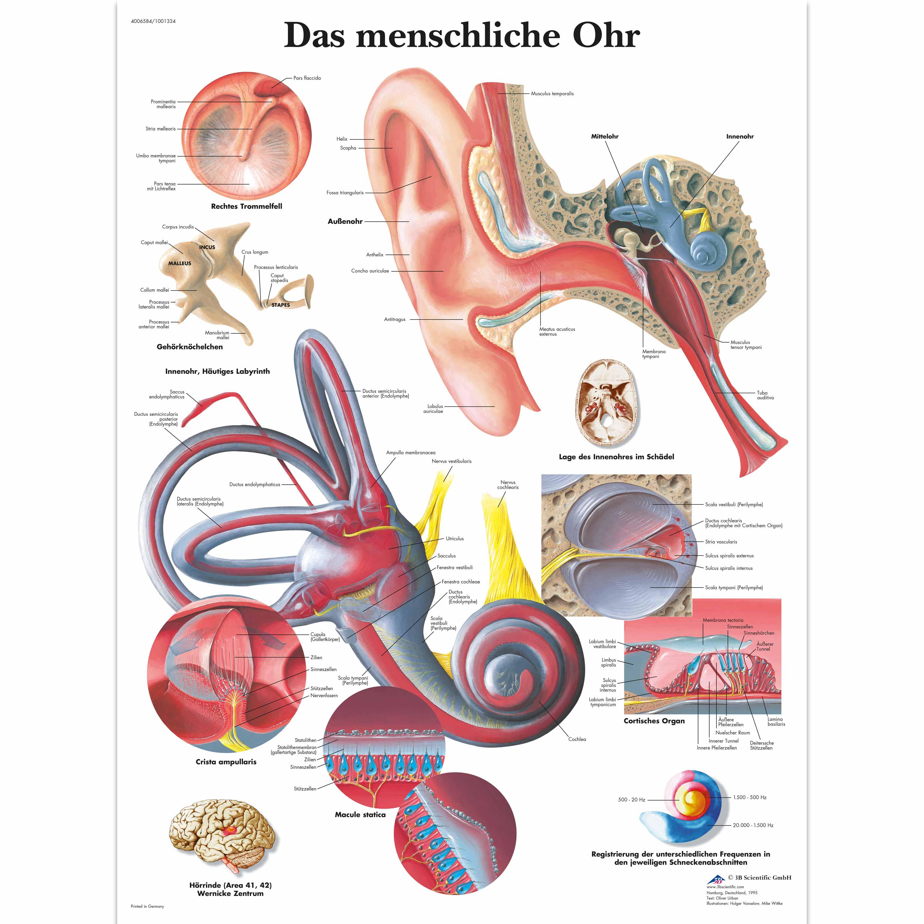 Lehrtafel - Das menschliche Ohr - 4006584 - VR0243UU - Hals, Nasen ...