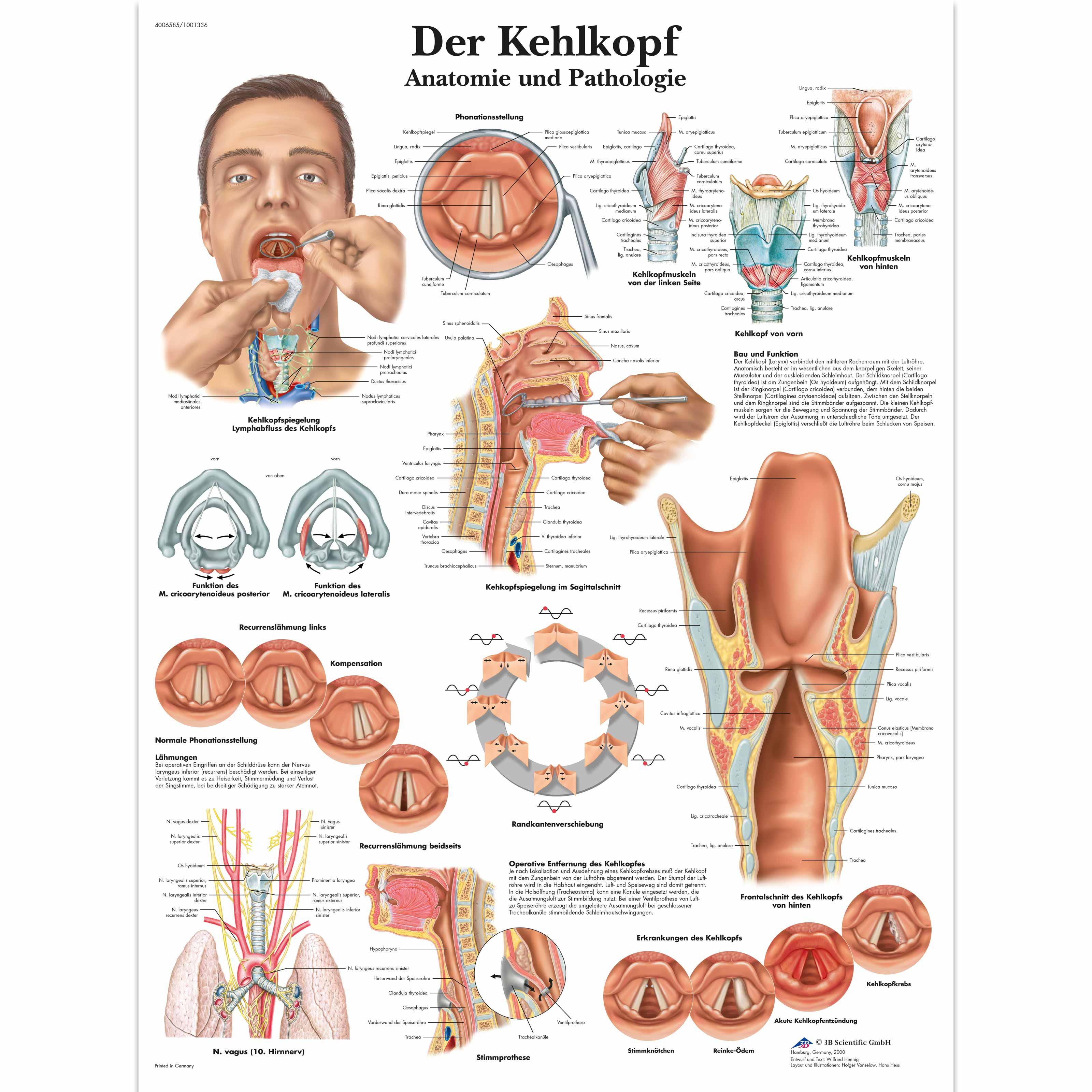 Lehrtafel - Der Kehlkopf - 4006585 - VR0248UU - Sprechorgane - 3B ...