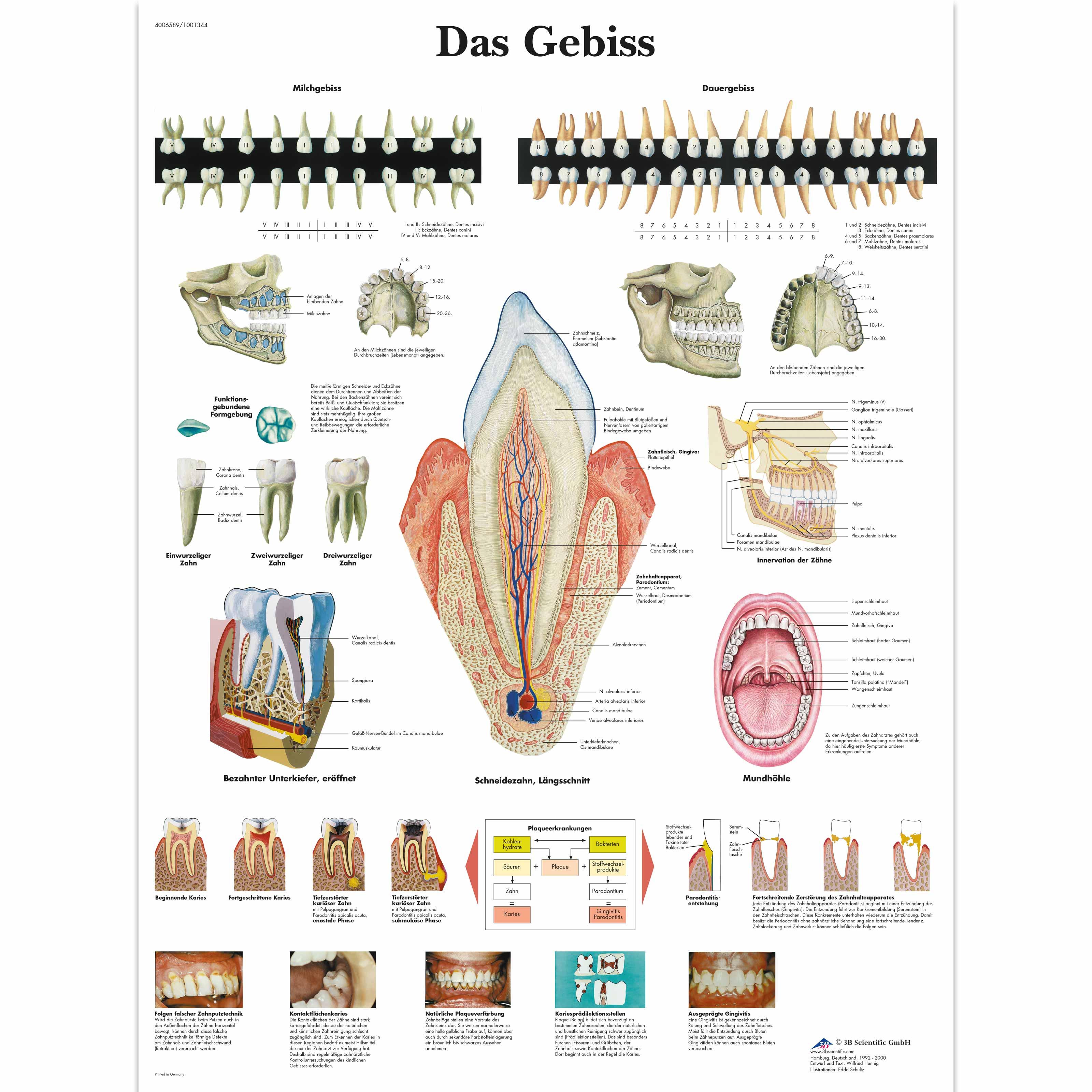 Lehrtafel - Das Gebiss - 4006589 - VR0263UU - Zähne - 3B Scientific
