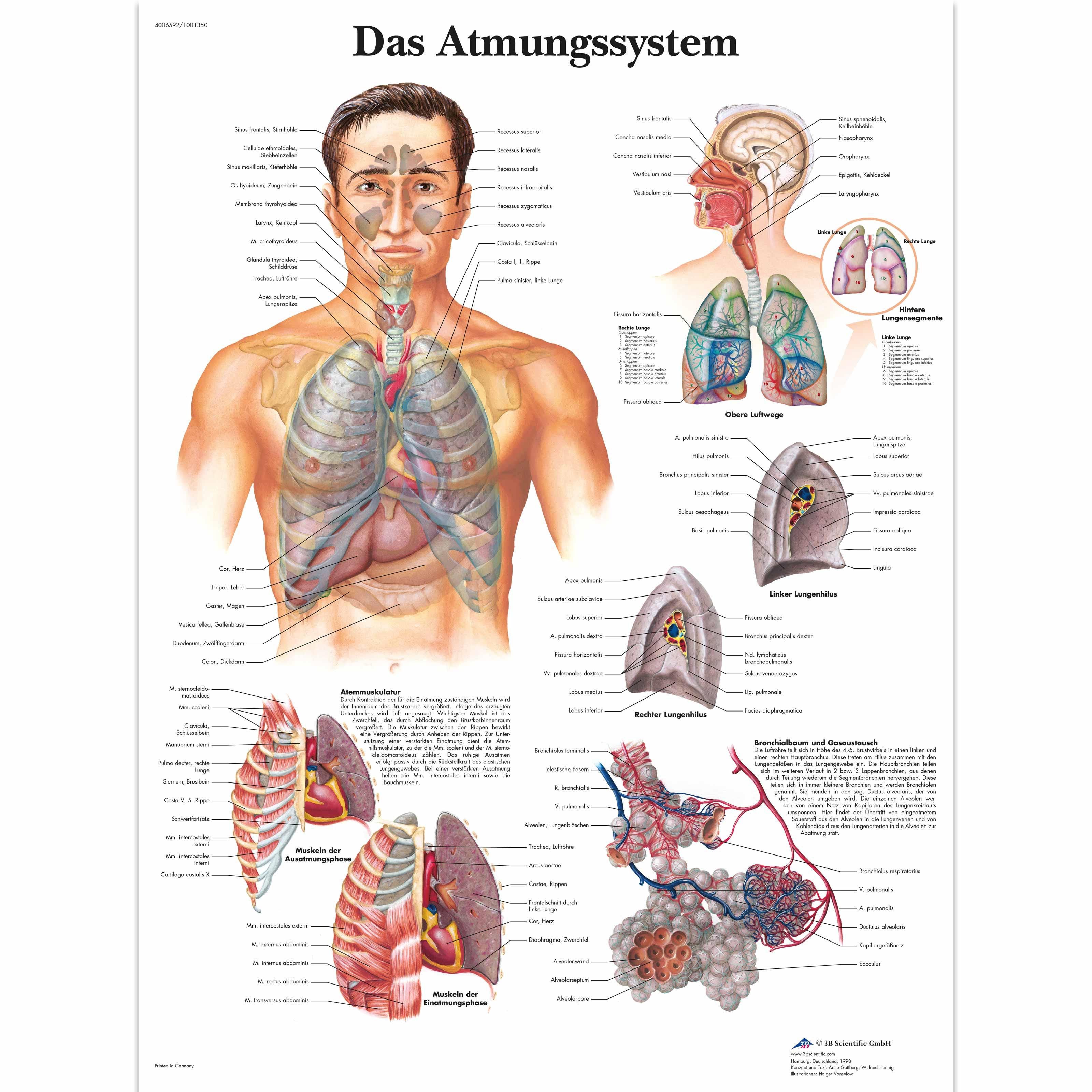 Lehrtafel - Das Atmungssystem - 4006592 - VR0322UU - Atmungssystem ...