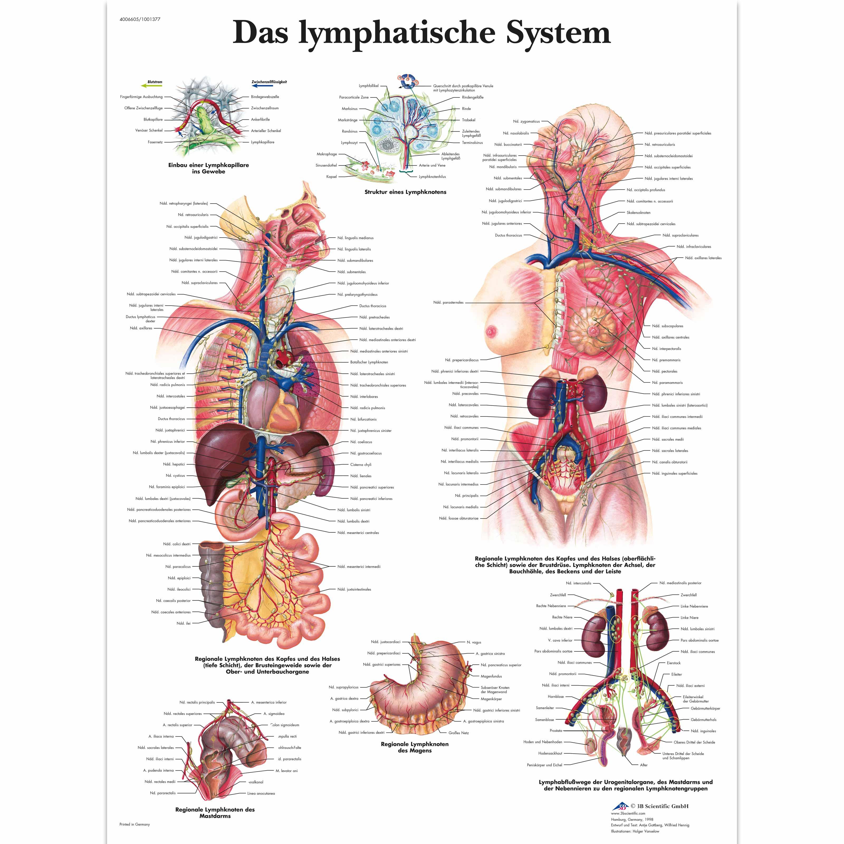 Lehrtafel - Das Lymphatische System - 4006605 - VR0392UU ...