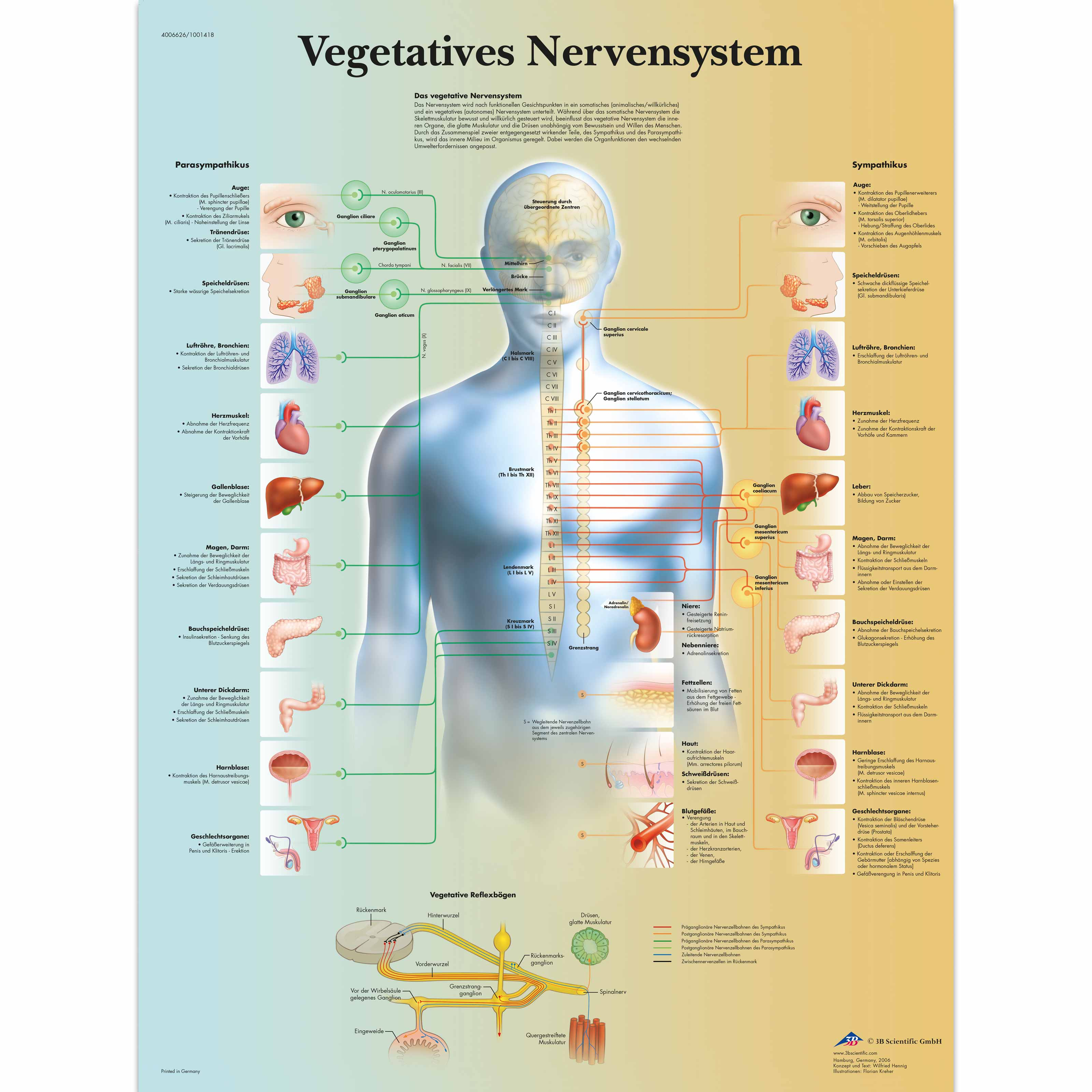 Lehrtafel - Vegetatives Nervensystem - 4006626 - VR0610uu - Gehirn ...