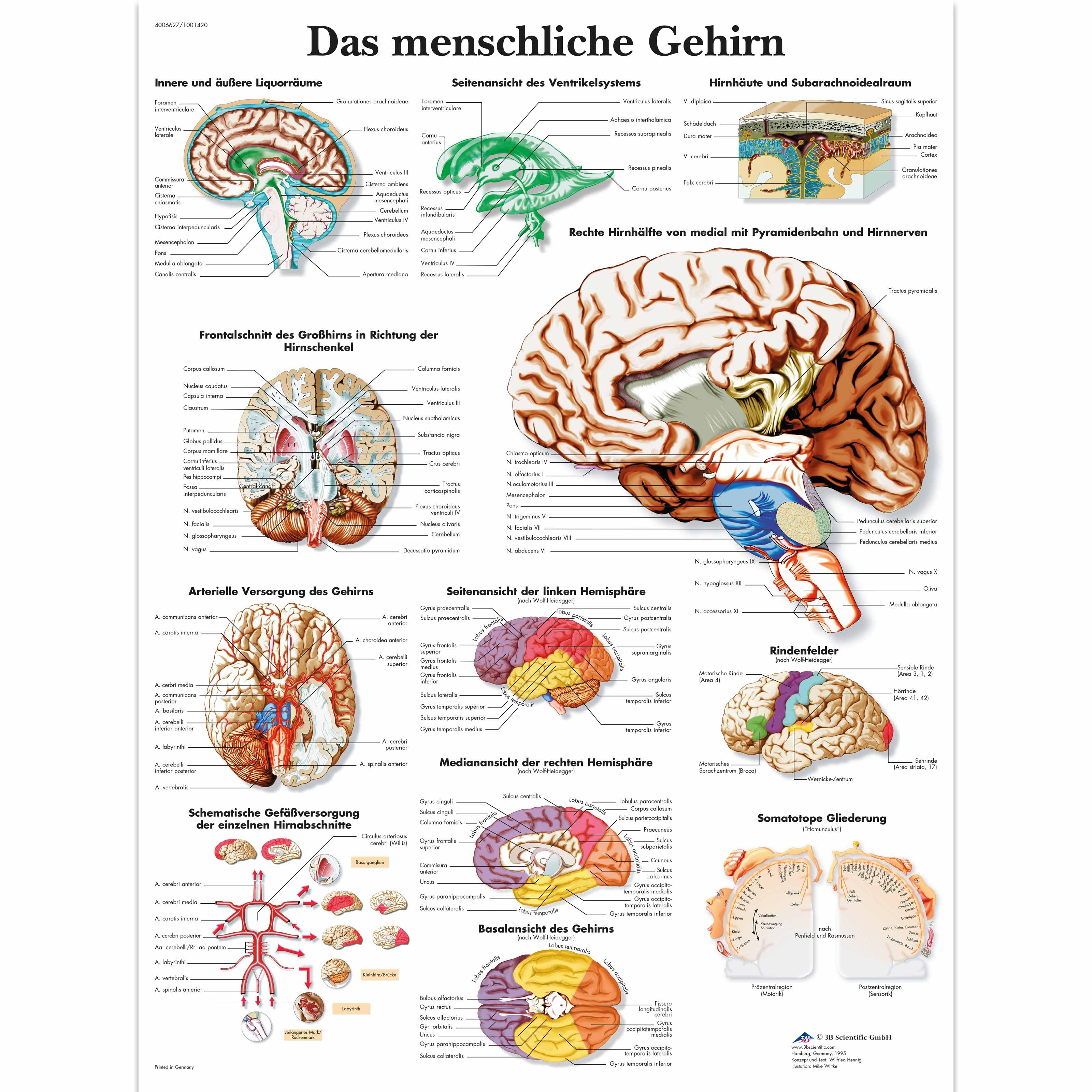 Lehrtafel - Das menschliche Gehirn - 4006627 - VR0615UU - Gehirn und ...