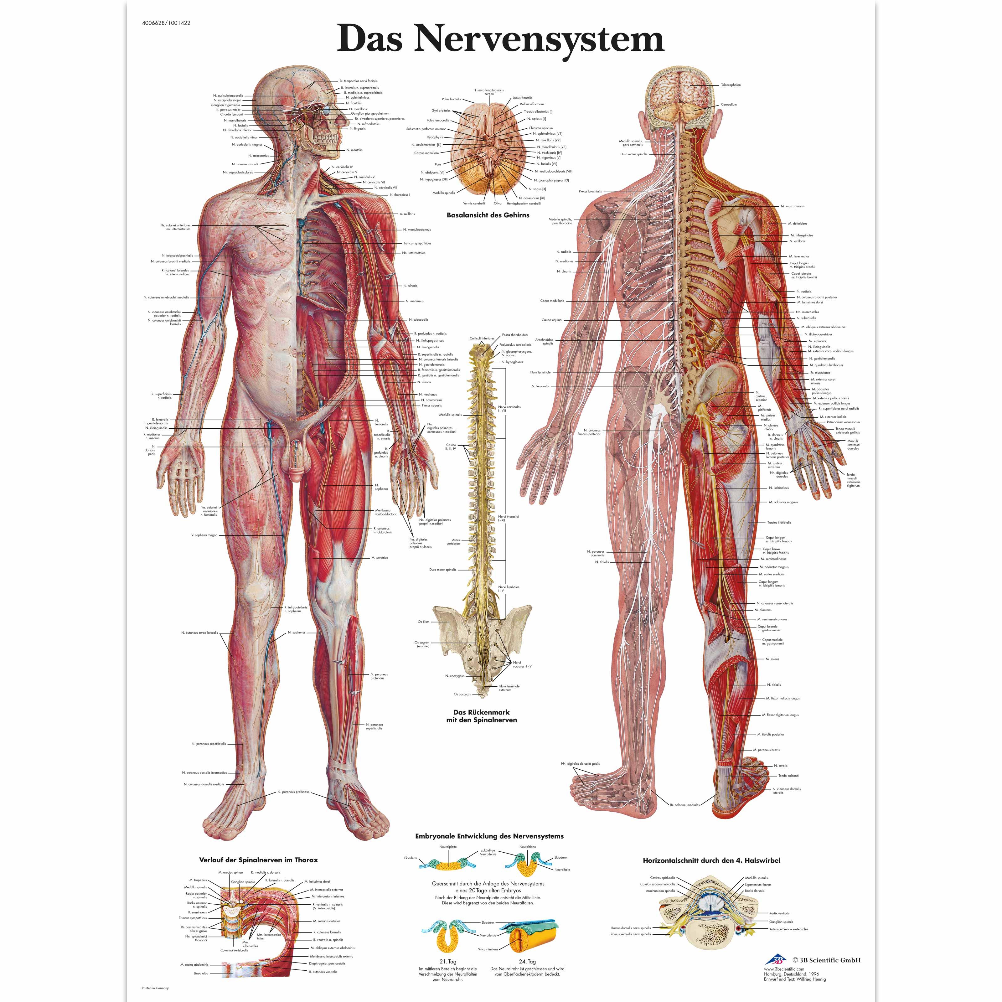 Lehrtafel - Das Nervensystem - 1001422 - VR0620L - Gehirn und ...