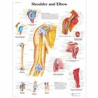 Lehrtafel - Shoulder and Elbow, 1001482 [VR1170L], Skelettsystem