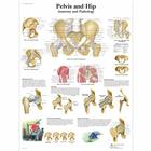 Lehrtafel - Pelvis and Hip - Anatomy and Pathology, 4006660 [VR1172UU], Skelettsystem