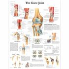 Lehrtafel - The Knee Joint, 4006661 [VR1174UU], Skelettsystem