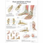 Lehrtafel - Foot and Joints of Foot - Anatomy and Pathology, 4006662 [VR1176UU], Skelettsystem