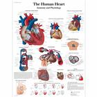 Lehrtafel - The Human Heart - Anatomy and Physiology, 4006679 [VR1334UU], Herz-Kreislauf-System