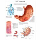 Lehrtafel - The Stomach, 4006690 [VR1426UU], Verdauungssystem