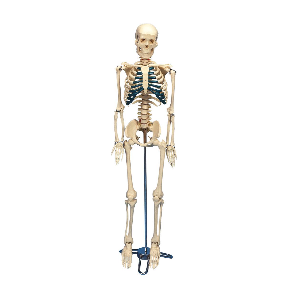 Schreibtisch-Skelett - 1005457 - W33000 - Mini-Skelette - 3B Scientific