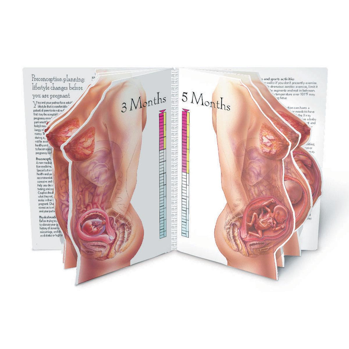 Fein Menschliche Anatomie Schwangerschaft Fotos - Menschliche ...